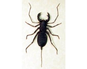 Real Framed Whip Scorpion False Stinger 2254