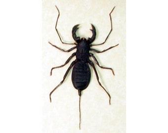 Real Framed Whip Scorpion False Stinger 2254 Free Shipping