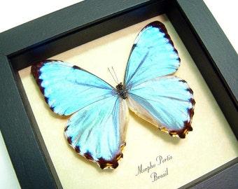 Real Framed Blue Glowing Morpho Portis Butterfly 666