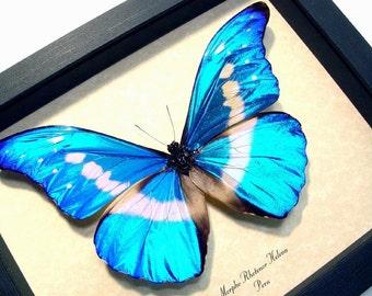 Wedding Day Gift Real Framed Blue Morpho Helena Butterfly 907