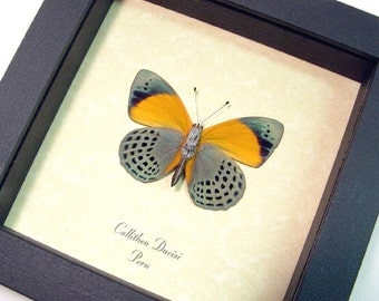 Real Framed Orange Blue Callithea Davisi Verso Butterfly Shadowbox Display 394v