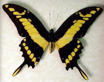 Swallowtail Butterfly 162