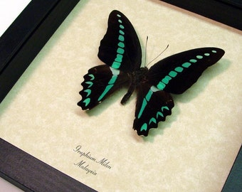 Blue Graphium Milon Real Butterfly Conservation Display 947