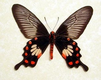 Real Red Black Pachlioptera Aristolochile Verso Swallowtail Butterfly  382
