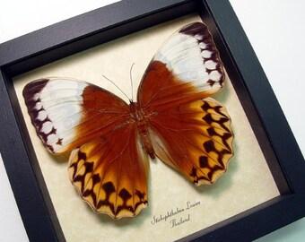 Huge Orange Jungle Queen Real Framed Butterfly 308