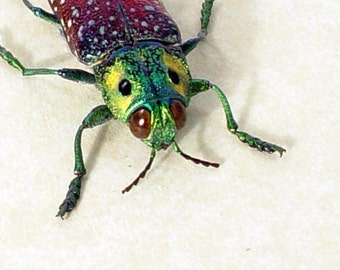 Real Framed False Yellow Eyes Beetle 2250
