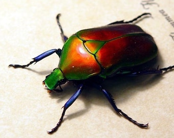 Sealed Conservation Quality Red Jewel Beetle display 2148