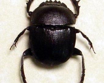 Ancient Egyptian Sacard Scareb Real Framed Beetle 2480