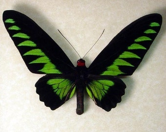 Real Framed Brookes Birdwing Butterfly 159