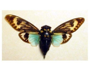 Real Framed Cicada Song Big Aqua Blue Winged Conservation Display 2162