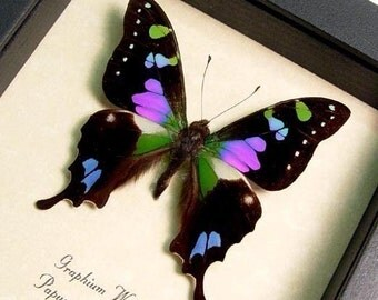 Wedding Gift Framed Butterfly Best Seller Purple Spot Swallowtail 229