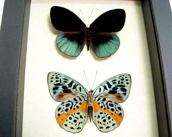 Real Eunica Chlorochroa Pair Real Framed Butterfly Display 564P
