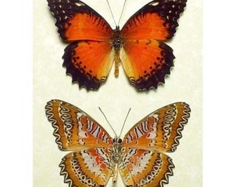 Real Framed Red Zig Zag Lacewing Butterfly Pair 234P
