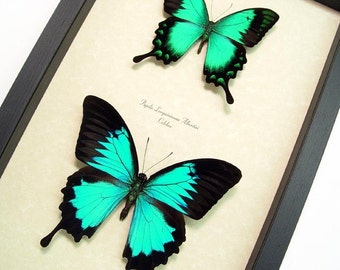 Framed Butterfly Neon Blue And Green Metallic Butterflies 1099
