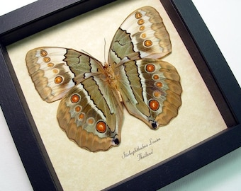 Jungle Queen Real Framed Butterfly Conservation Display 308v
