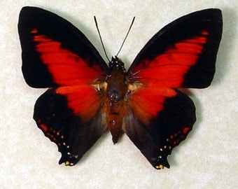 Dad's & Grad's Gift African Red Heart Charaxes Zingha Conservation Butterfly 219