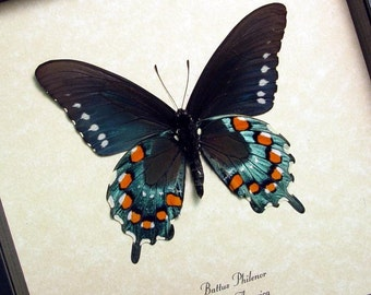 Rare Battus Philenor N. American Real Butterfly Display 548v