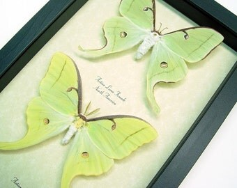 Wedding Gift Real Luna Moth Pair Conservation Quality Display 1124P