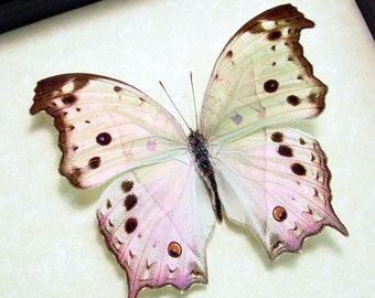 Best Seller For 13 Years The Mother Of Pearl Butterfly 200