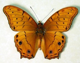 Cruiser Butterfly Real Framed Vindula Arsinoe 203