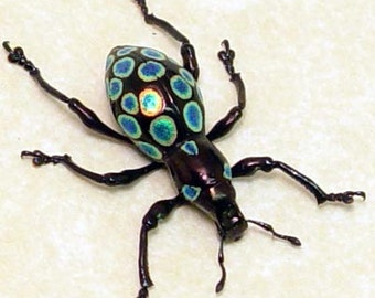 Real Rare Framed Metallic Polka Dot Weevil Beetle 7934