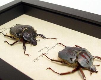 Real Framed Argyrophegges Kolbei Flower Beetle Pair 7914