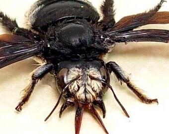 Real Rare Framed African Death Head Carpenter Bee 7903