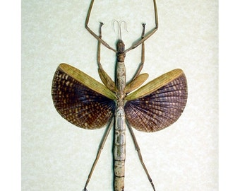 Real Framed Giant Winged Walking Stick Insect Shadowbox Display 7926
