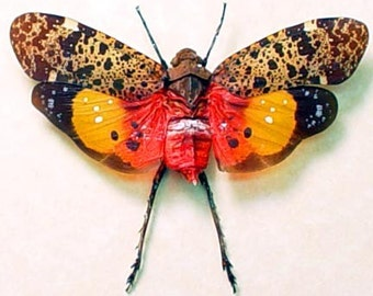 Real Framed Penthicodes Variegata Lanternfly Insect Shadowbox Display 2160