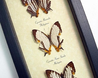 Real Framed Exotic Asian Map Butterfly Collection Shadowbox Display 7957