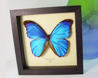 Father's Day Gift Blue Morpho Real Framed Display 290