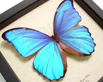 Dad's And Grad's Gift Giant Blue Morpho Didius Real Framed Butterfly 416
