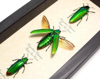 Real Framed Living Jewels 3 Green Beetle Set Conservation Display 2299