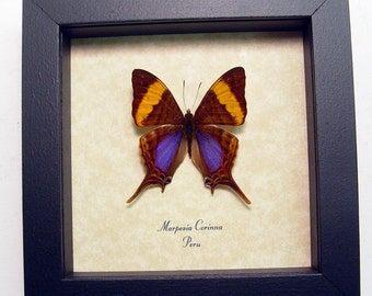 Framed Butterfly Conservation Display Marpesia Daggerwing 763
