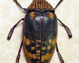 African Wood Boring Bullet Beetle Real Framed Insect 7985