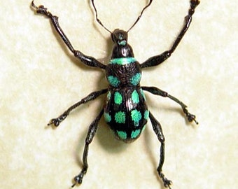 Rare Real Blue Green Spotted Weevil Framed Beetle 7989