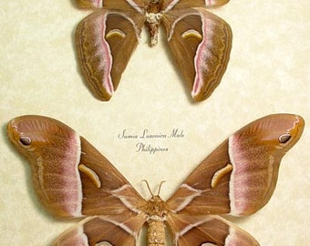 Giant Silk Moth Pair Real Framed Samia Luzonica 7970
