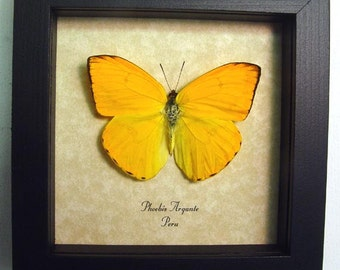 Beautiful Orange Sulpher Butterfly Conservation Display 272