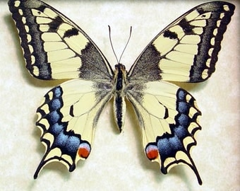 Japanese Butterfly Papilio Machaon Female Real Framed Butterfly 498F