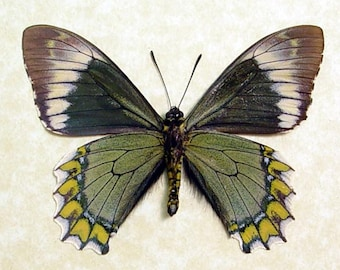Battus Madyes Chlorodamas Green & Yellow Real Framed Butterfly 8051