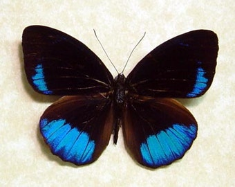 Framed Butterfly Real Eunica Sophonisba Metallic Blue 8058