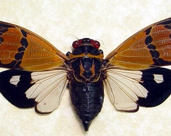 Gaeana Festiva Real Two Toned Cicada Framed 8072