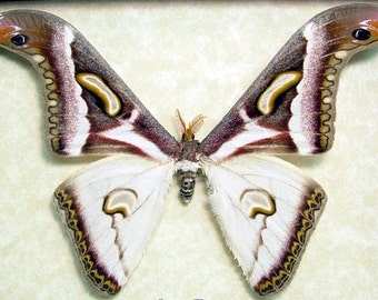 Real Framed Epiphora Albida Rare Cameroon Silk Moth 8076
