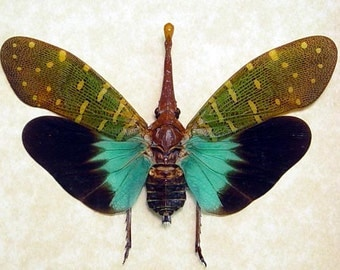 Pyrops Intricata Rare Blue Winged Framed Lanternfly 8074