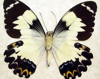 Real Framed Papilio Euchenor Euchenor Frilled Butterfly 8075