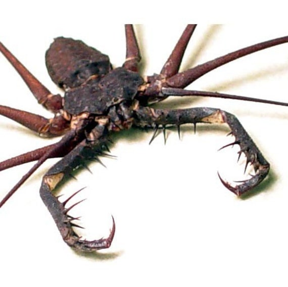 HUGE MASSIVE SPIKED CAVE SPIDER REAL FRAMED INSECT 2307