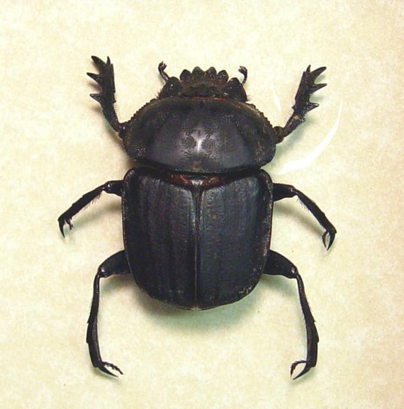 are scarabs real