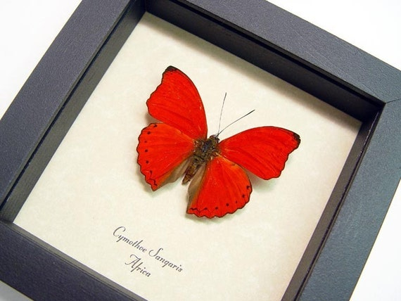 RED HEART GLIDER REAL BUTTERFLY CYMOTHOE free shipping SANGARIS 397