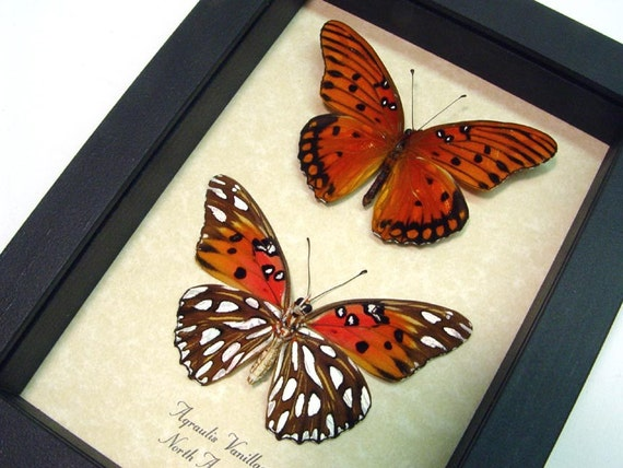 Passion Butterfly Pair Real Framed Orange Gulf Fritillary 7889