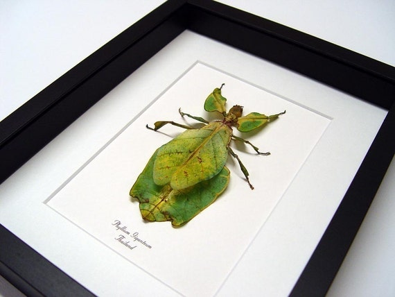 Real Framed Green Walking Leaf Mimic Insect Display 2276M
